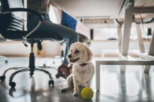 Cute white poodle dog in the office under the table