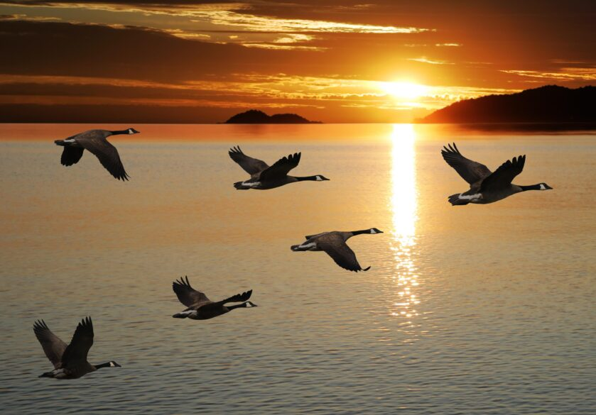 migrating canada geese in silhouette flying over lake at sunrise